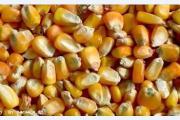 鸿隆牧业之玉米